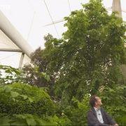 Common lime tree