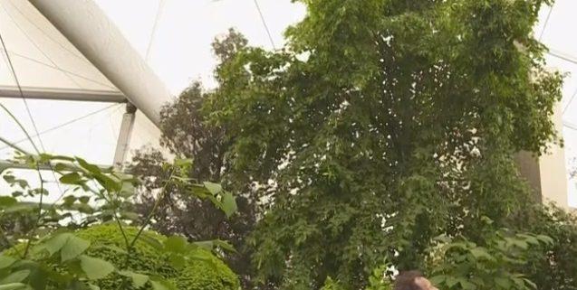 Semi-Mature Trees Common lime tree