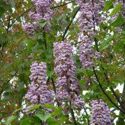 Foxglove tree heat tolerant