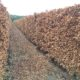 Instant Beech Hedge mature and ready-grown