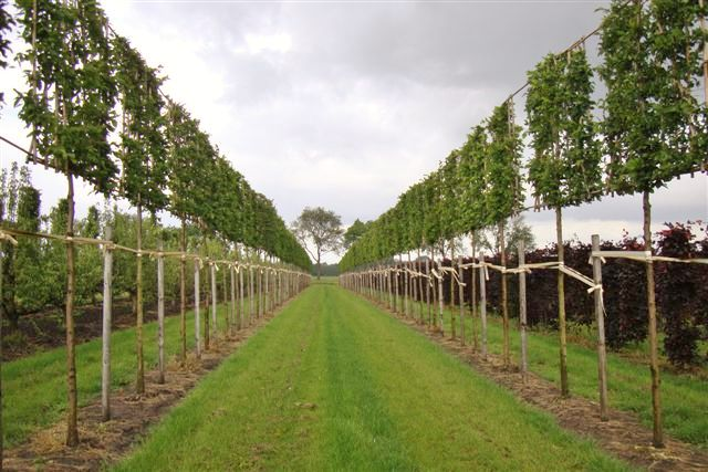 Hornbeam pleached trees