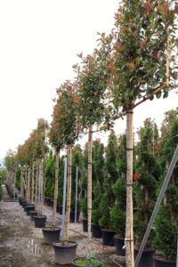 Photinia pleached