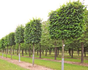 Lime pleached