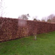 Beech instant hedging just planted