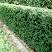 Taxus baccata hedging at nursery