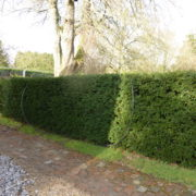 Taxus baccata instant hedging