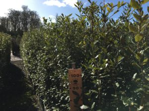 1.5 - 1.8m high Quercus ilex (Holm Oak)