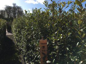 1.5 - 1.8m high Quercus ilex (Holm Oak)