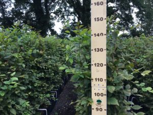 1.5m high Hornbeam 30 07 19