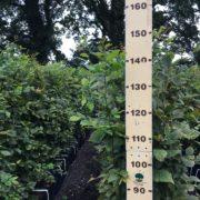 Carpinus betulus hedging