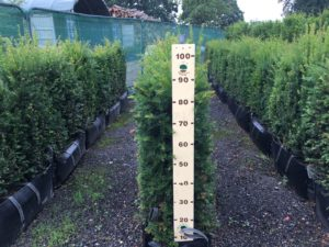 90 - 100cm high Yew Instant Hedge
