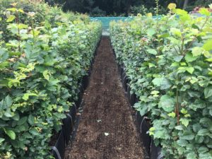 1 - 1.2m high Native Mix Instant Hedge