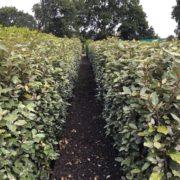 Oleaster hedging