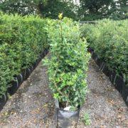 Ilex aquifolium hedging