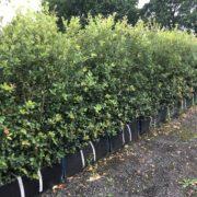 Quercus ilex hedging