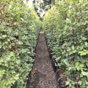 Fagus sylvatica hedging