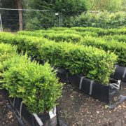 Buxus sempervirens hedging