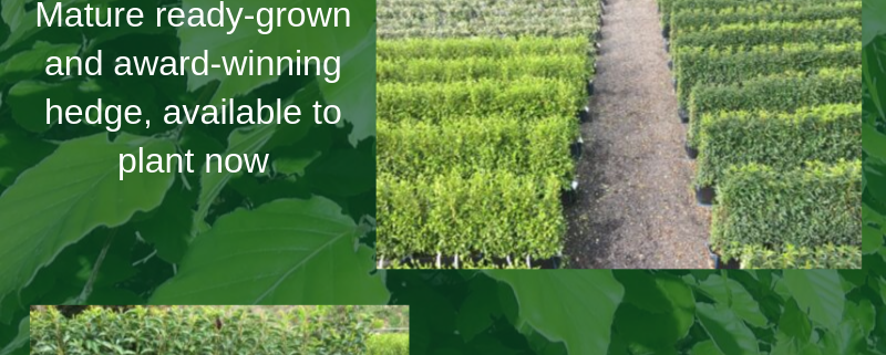 Ready grown instant hedge shown growing at our nursery in Iver