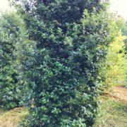 Clearance Trees Holm Oak