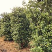 Clearance Trees Holm Oak