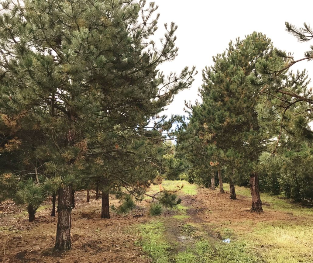 Clearance Trees Pine Trees