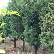 Clearance Trees Yew
