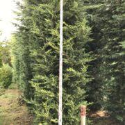 Clearance Trees Leylandii Gold