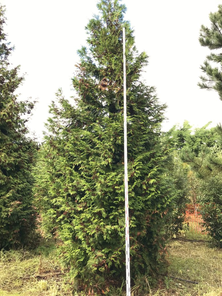 Clearance Trees Thuja