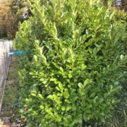 Clearance Trees Cherry Laurel