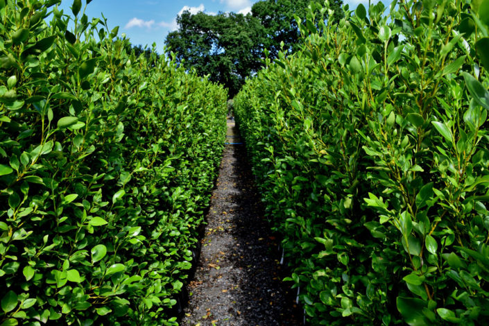 Griselinia Instant Hedge