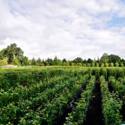 Practical Instant Hedge growing in Iver