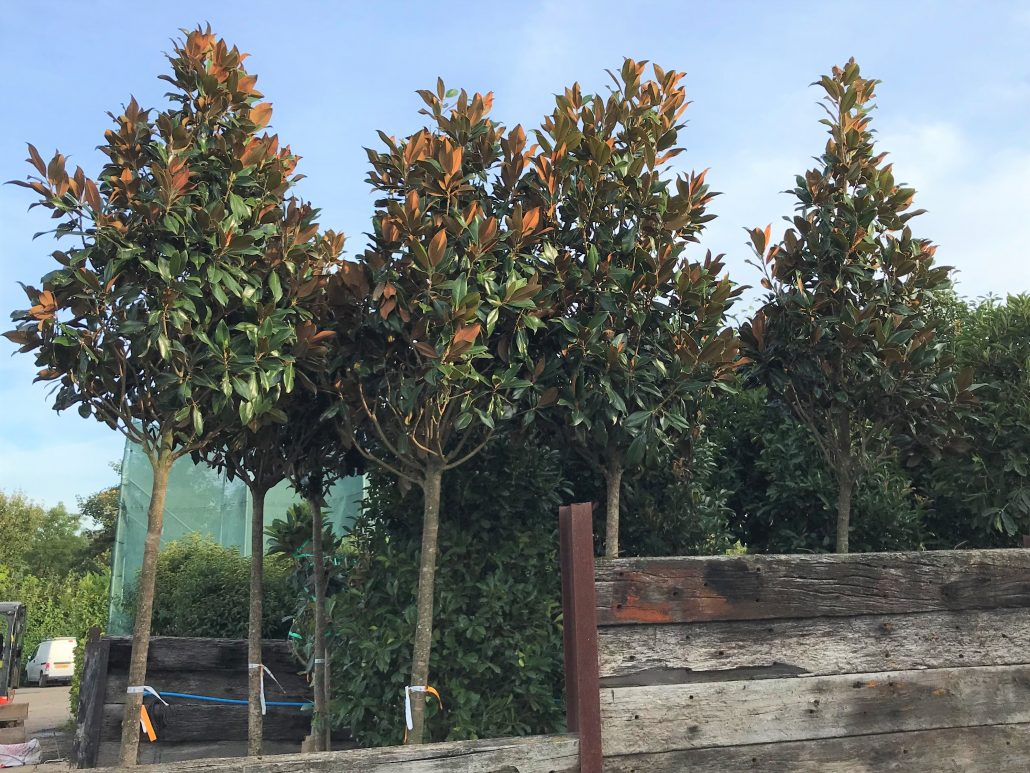 Trees for creating privacy in your garden